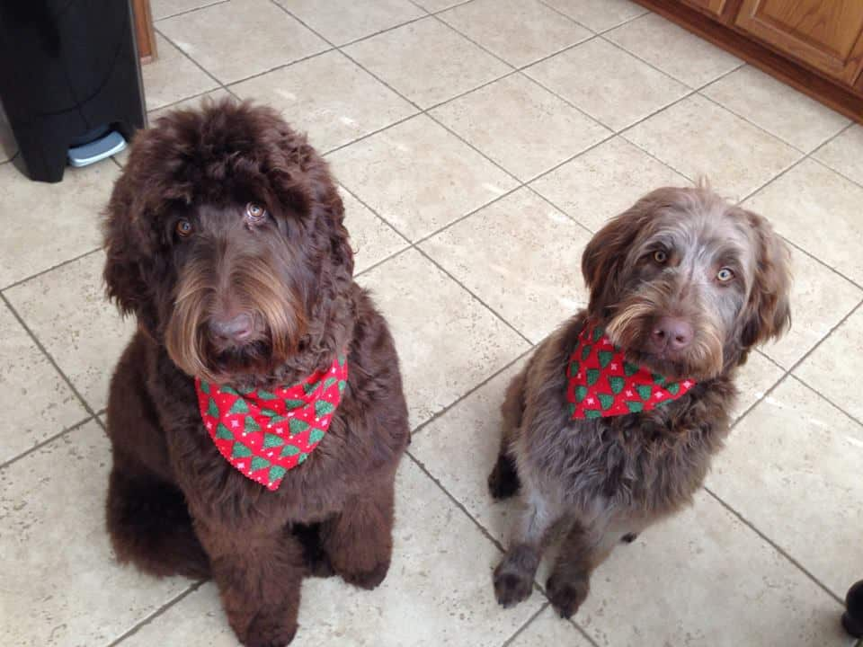 chocolate labradoodles